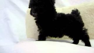 小さな小さなシルバーの子犬です!