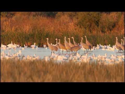 Salton Sea Cranes - Hoping Along