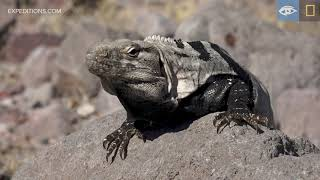 Looking for Large Lizards | Baja California | Lindblad Expeditions-National Geographic