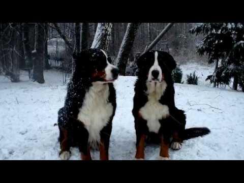 Порода собак. Бернский зенненхунд. Красивая порода собаки