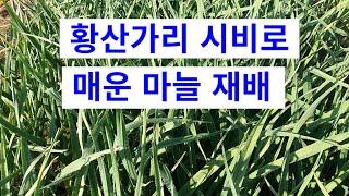 매운 마늘 생산 방법.경운기 광폭로타리로  후 심은 마…