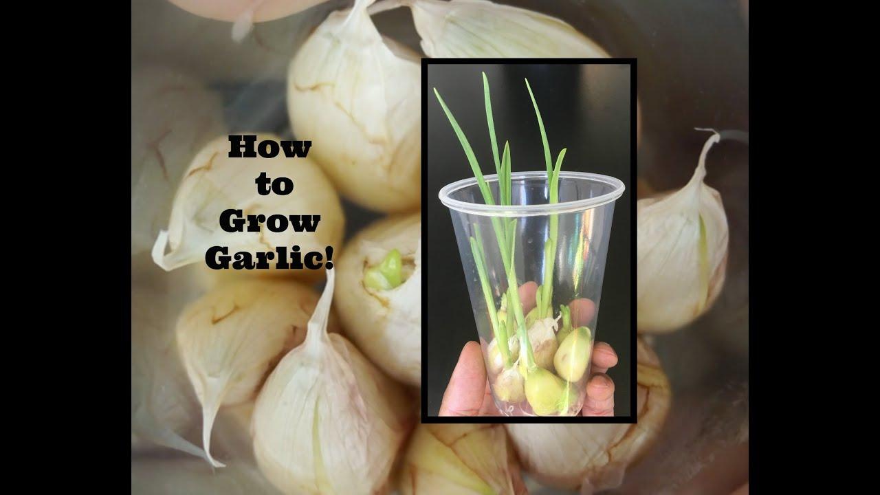 plant garlic clove has sprouted garden design ideas. Black Bedroom Furniture Sets. Home Design Ideas