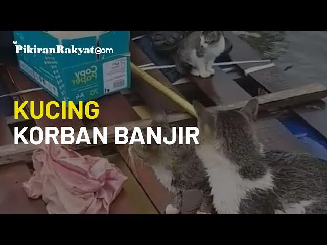 Viral di Media Sosial, Video Perlihatkan Kucing-Kucing yang Diduga Jadi Korban Banjir di Kalsel