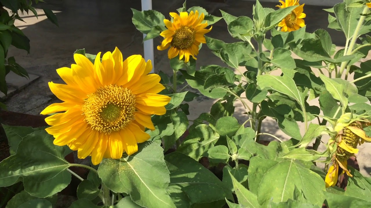 Beautiful sun flowers fascinating stunning gorgeous amazing beautiful sun flowers fascinating stunning gorgeous amazing nature yellow kl school pwtc 1 izmirmasajfo
