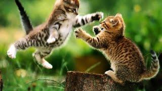 Los videos de gatos más tiernos 2017 del mundo. Videos de gatos lindos y chistosos