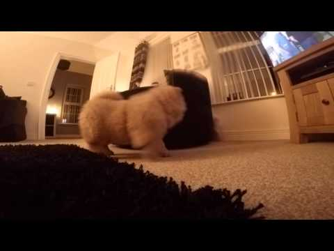 Cute Chow Chow puppy chases Bichon Frise