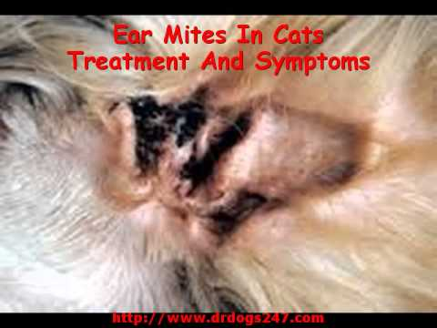 Ear Mites In Cats Treatment And Symptoms Youtube