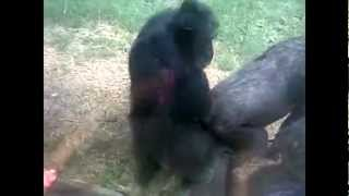 Monkey Mating with Style !