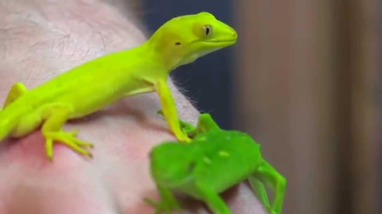 Meet The Locals New Zealand Geckos Massey University Youtube