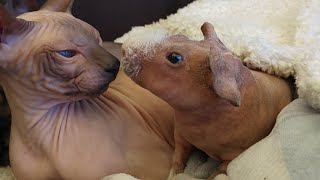 Best FRIENDS❣SPHYNX Kittens & Skinny GUINEA Pig