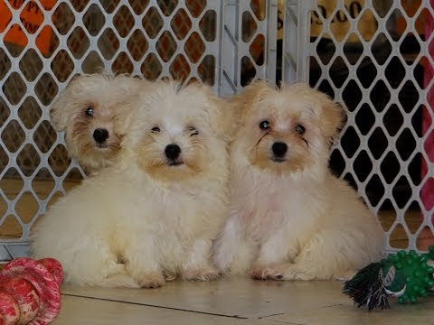 Maltese, Puppies, Dogs, For Sale, In Virginia Beach, Virginia, VA, 19Breeders, Chesapeake, Arlington