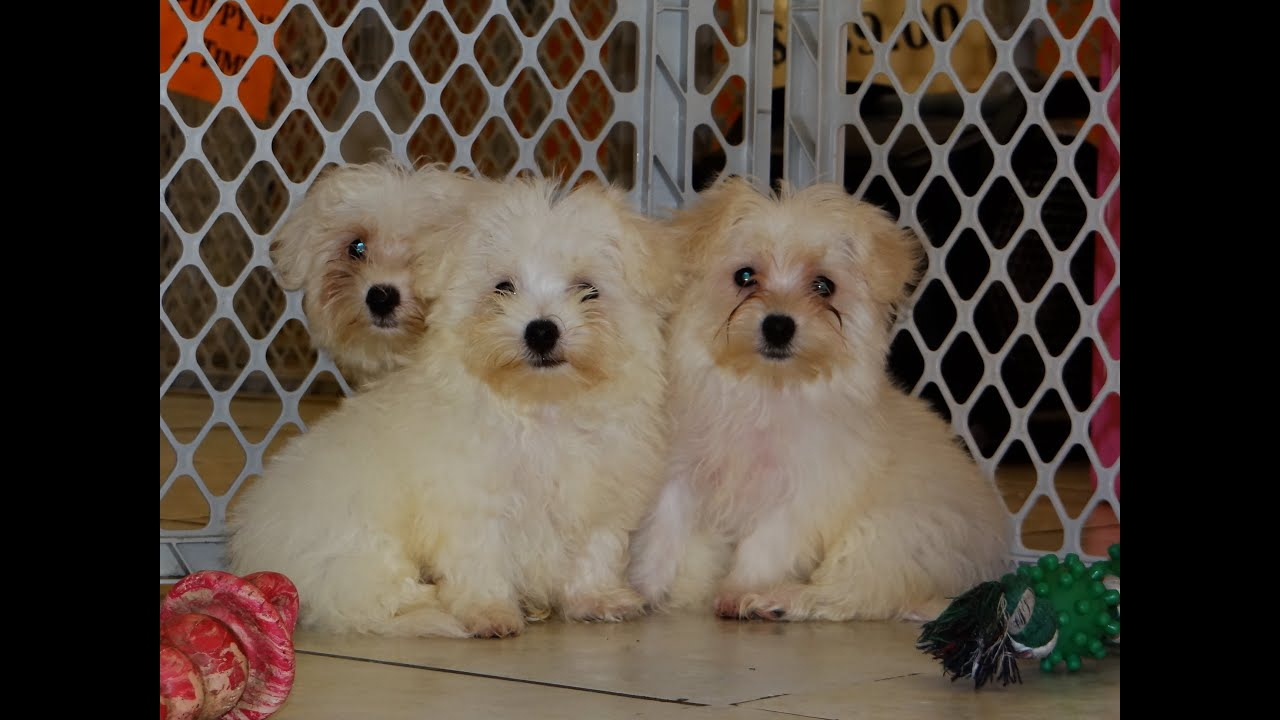 Maltese Puppies Dogs For Sale In Virginia Beach Virginia VA