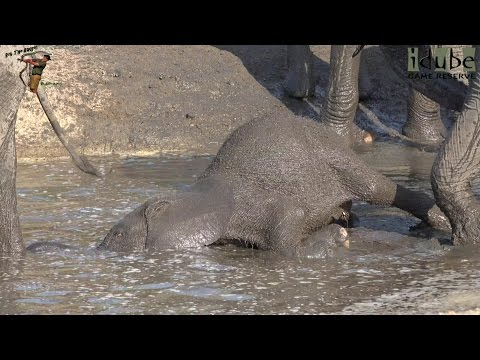 Elephant Calf Forgets How To Elephant | Cutest Elephant Baby