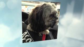 Rolo The Shihtzu Visits His Pal Henry The Jack Russell