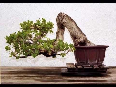 Oak Bonsai Youtube