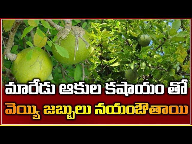 Maaredu Tree Has A Strange Trait That Makes It An Interesting Subject-TNILIVE-పువ్వు లేకుండా ఫలం-మారేడు గొప్పదనం