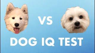 Dog IQ Test! Who's smarter? Samoyed or Maltese? Part 1 | Fluffy the Samoyed