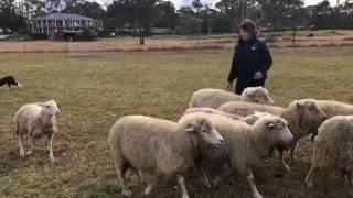 Mac 12 weeks on sheep