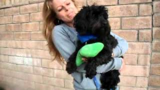 Adopted - Calvin - Wonderful, Sweet And Cute Black Poodle Terrier Mix Needs Home