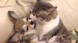 Дружба кошки и собаки. 2015 Chihuahua with kitty