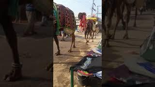 Xxx camel