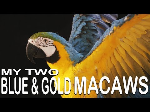 MY TWO BLUE & GOLD MACAWS (Meet Sammy and Maggie)