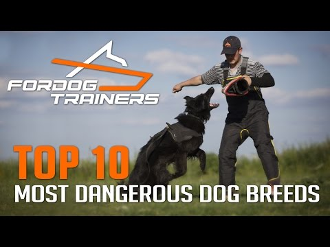 Top 10 Most Dangerous Dog Breeds - ForDogTrainers Top 10 Chart 🐕