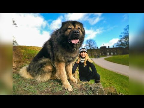 WOLF KILLERS 2 - THE LARGEST CAUCASIAN SHEPHERD OVCHARKA DOG - 'The Mighty Maximus'