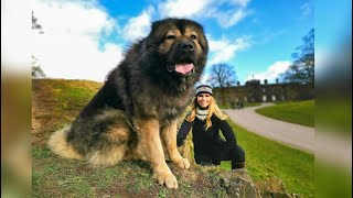 WOLF KILLER  THE LARGEST CAUCASIAN SHEPHERD OVCHARKA DOG IN THE UK