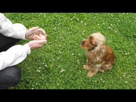 cannelle , le chien intelligent cocker anglais ( english cocker spaniel )