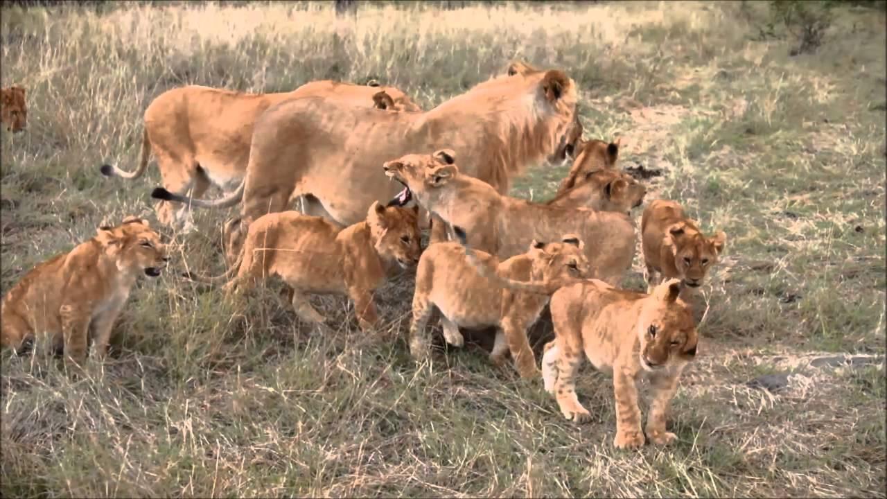 cobra kills lion cubs meet