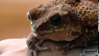В Ярославском зоопарке прижилась необычная жаба