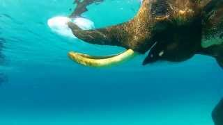Swimming With Elephant Andaman Islands