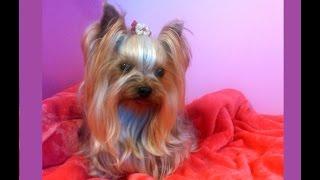 Provando Ropa A Perrita Yorkshire Terrier Toy Muy Simpatica, Put Clothes Dog . Setzen Kleidung Hund.