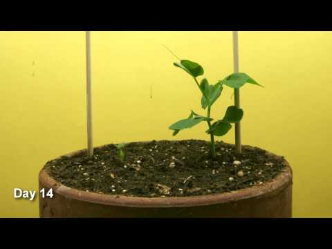 Snap Pea Time Lapse