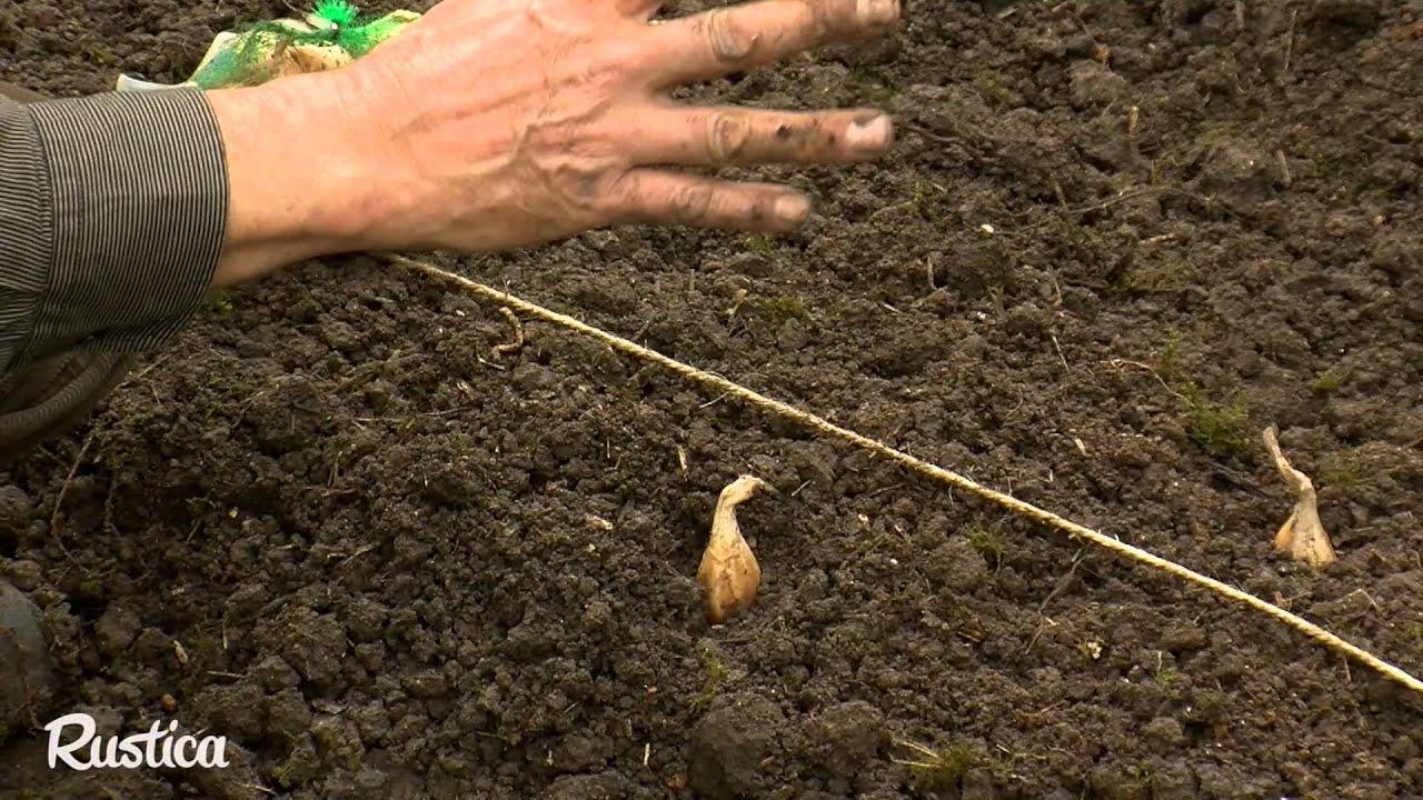 Comment Planter De L Échalote la culture sur butte de l'échalote