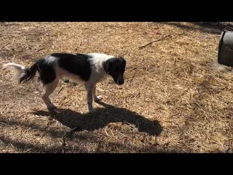 Herman the Border Collie Setter mix