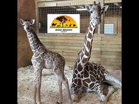 Download Youtube: Animal Adventure Park Giraffe Cam
