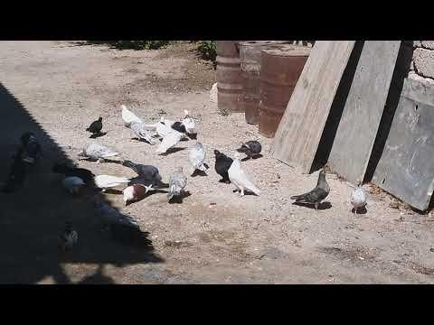 #BAKU #PIGEONS.  Молодой голубятник Исмаил в Баку! 1.09.19г