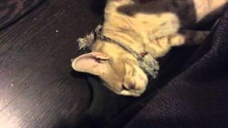 Кот спит как мертвый