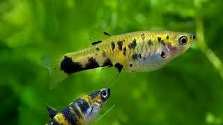 Гирардинусы живородящие аквариумные рыбки.  Содержание. Уход. Размножение.