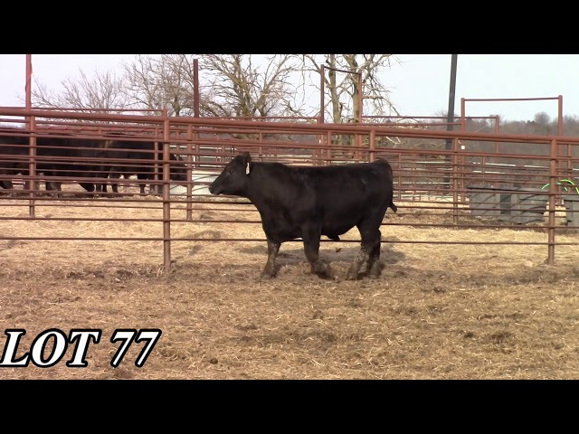 Mead Angus Farms Lot 77