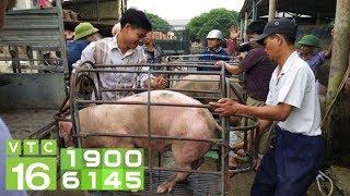 Giá lợn miền Bắc bật tăng khi 'ông trùm CP' điều chỉnh giá | VTC16