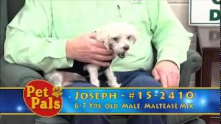 Meet Joseph A Maltese Currently Available For Adoption At Petango.com! 12/22/2014 8:00:28 Pm