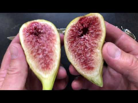french fig farm: Longue d'Août