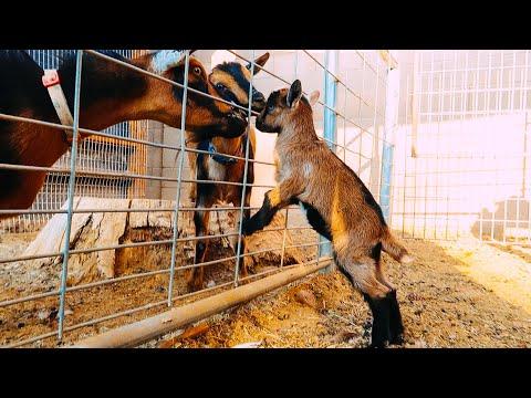 Grandma, is that you? 🥰(baby goat meets her grandma)