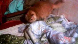 Кот Персик охотится за ногами