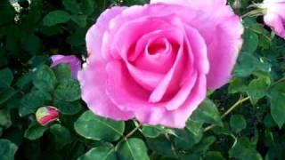 The McCartney Hybrid Tea Rose aka The Paul McCartney Rose