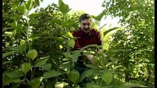 видео Физалис джемовый рецепты приготовления