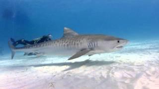 Video Tiger Beach, Grand Bahama with Stuart Cove's Diving download MP3, 3GP, MP4, WEBM, AVI, FLV Agustus 2018